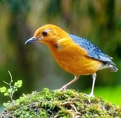 18 Jenis Pakan untuk Burung Anis Merah