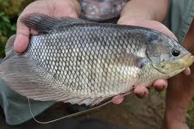 Cara Memilih Indukan Ikan Gurame Yang Baik Dan Benar