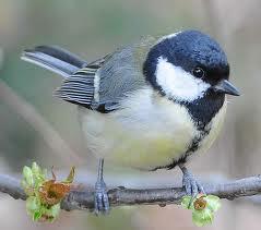 9 Makanan Tambahan untuk Burung Gelatik