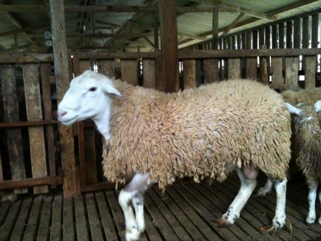 Cara Memilih Indukan Domba Yang Baik Dan Benar