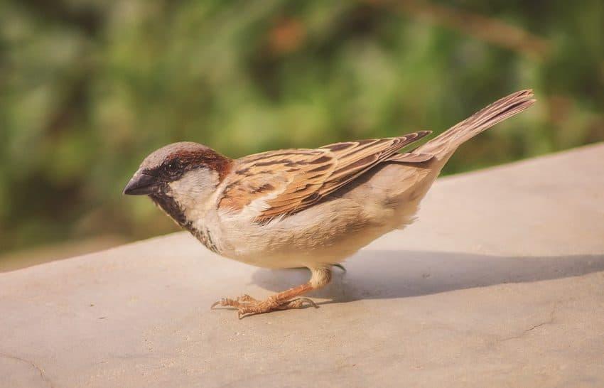 6 Vitamin untuk Burung Gelatik