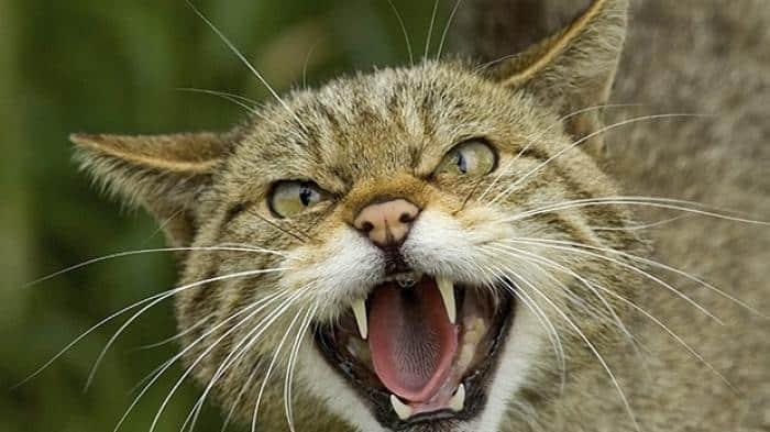 Cara Mengatasi Suara Kucing Yang Hilang Secara Efektif
