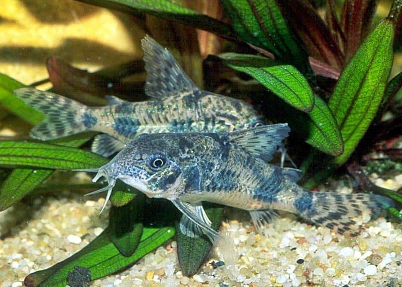 8 Jenis Ikan Pembersih untuk AquaScape