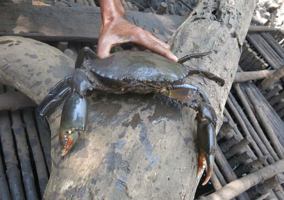 tentu anda juga mengenal aneka seafood kan 7 Cara Pembesaran Kepiting Bakau yang Aman