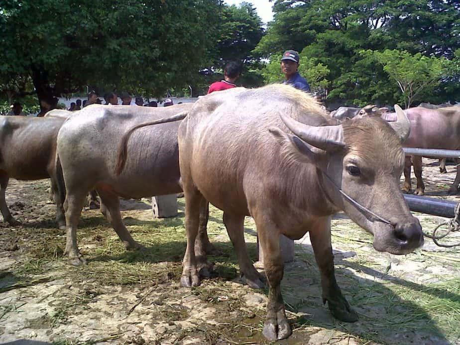 Kerbau adalah salah satu hewan yang bisa di 14 Keuntungan dan Kerugian Dalam Beternak Kerbau