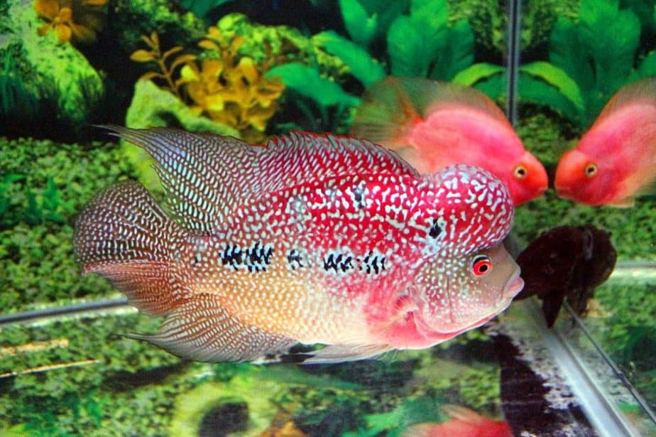 Ikan hias banyak dibeli masyarakat lantaran bisa mempercantik interior rumah 7 Ikan Hias Air Tawar Termahal dan Karakteristiknya