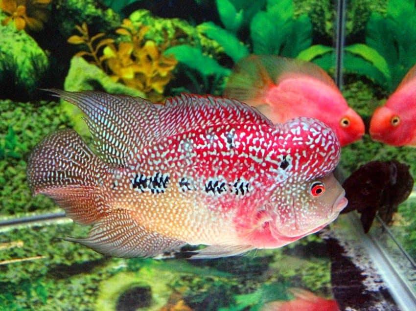 Jenis Ikan Louhan Lokal Yang Indah Dan Cantik