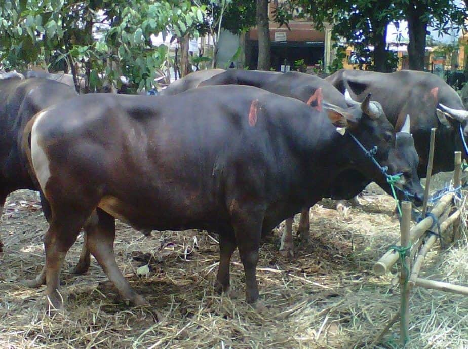 Sapi adalah salah satu jenis hewan berkaki empat berkategori besar 7 Cara Pencegahan Bakteri Brucello Pada Sapi