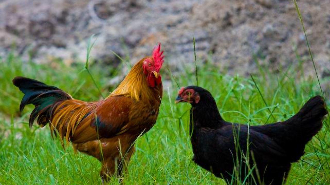 550 Gambar Binatang Ayam Dan Makanannya Gratis Terbaik