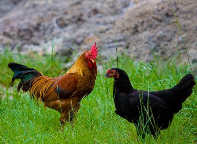 5 Perbedaan Ayam Ras dan Ayam Buras