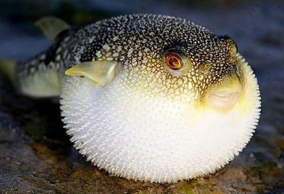 Tips Budidaya Ikan Buntal Bagi Pemula Yang Perlu Diperhatikan