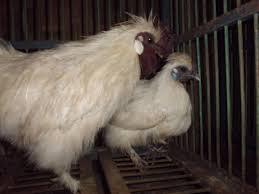Hal Yang Diperhatikan Dalam Ternak Ayam Kapas Agar Hasilnya Maksimal