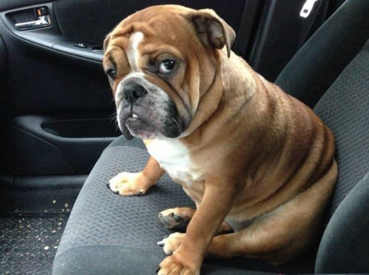 10 Jenis Penyakit Gatal pada Anjing