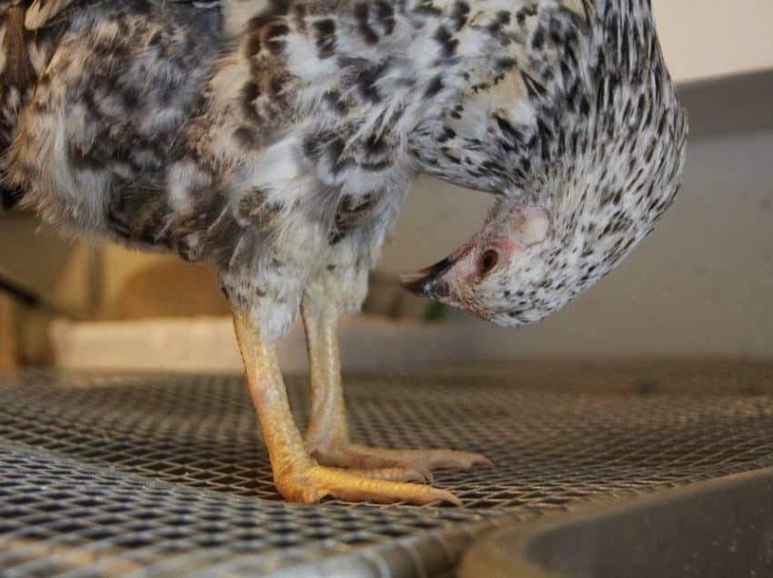 6 Cara Mengobati Korep Pada Ayam Aduan Yang Efektif