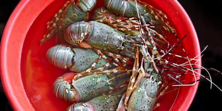 11 Tips Panen Benih Lobster Air Tawar