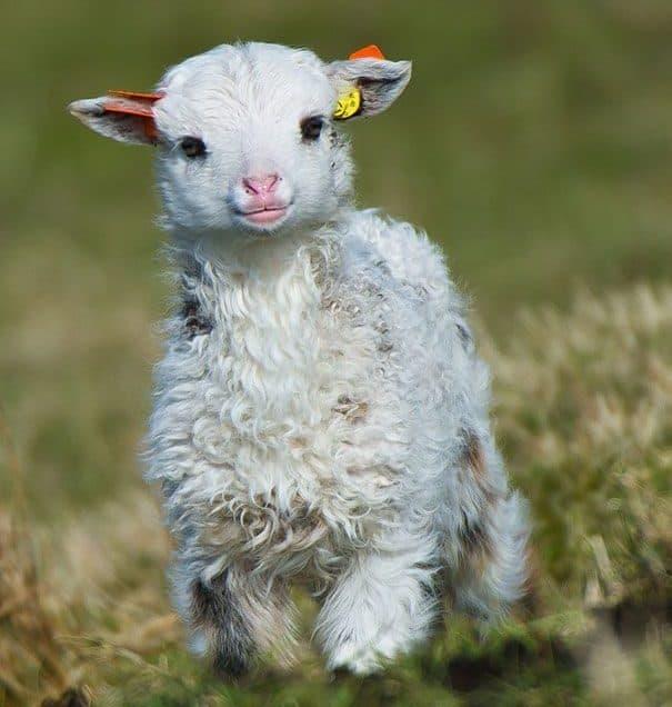 10 Cara Merawat Anak Domba yang Baru Lahir