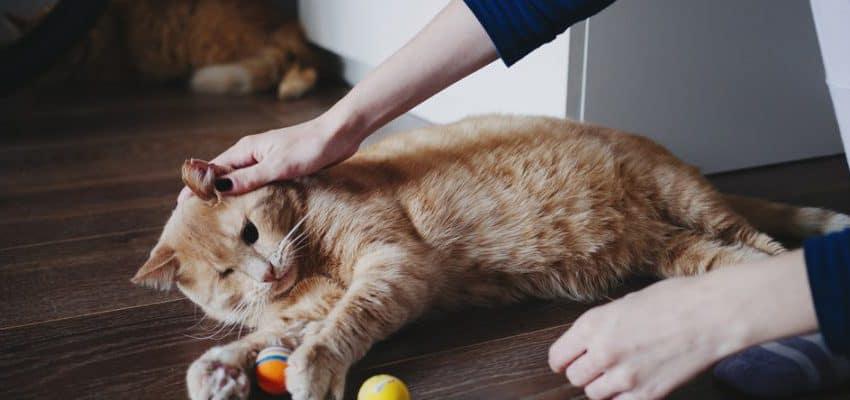 8 Cara Bermain dengan Kucing Dirumah