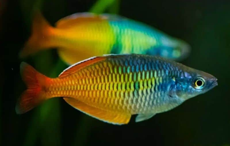 8 Cara Mengatasi Kutu Jarum Pada Ikan Hias
