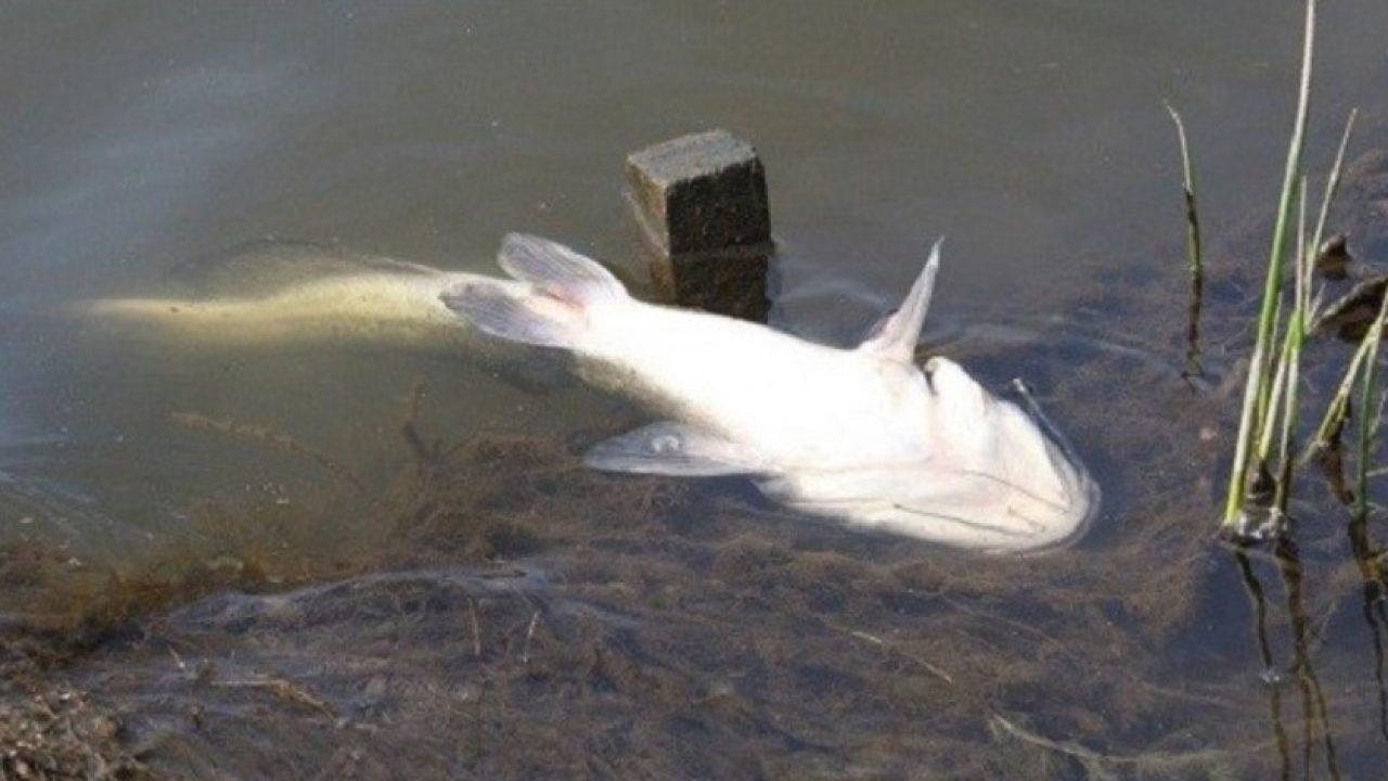 6 Penyebab Ikan Lele Mati Mendadak Dan Cara Mengatasinya Arenahewan Com