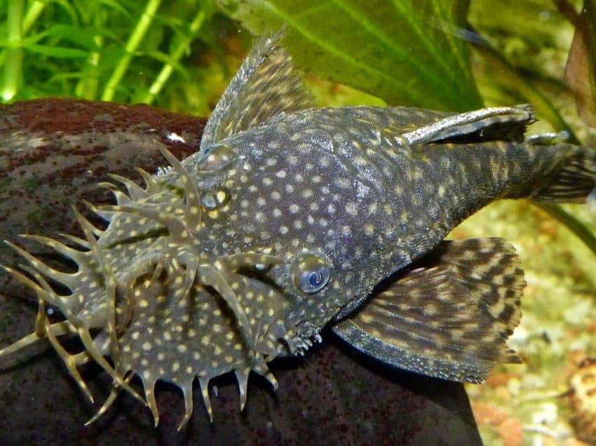 8 Jenis Ikan Pembersih Kaca Kolam