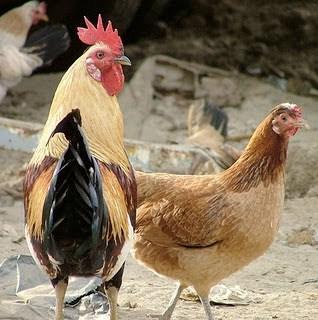 12 Tips Ternak Ayam Buras