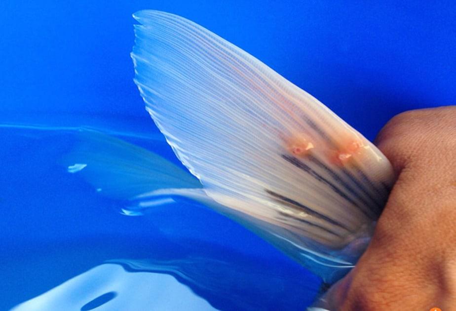 Koi adalah salah satu jenis ikan cantik yang banyak di sukai orang 8 Cara Menghilangkan Kutu Jarum Pada Ikan Koi