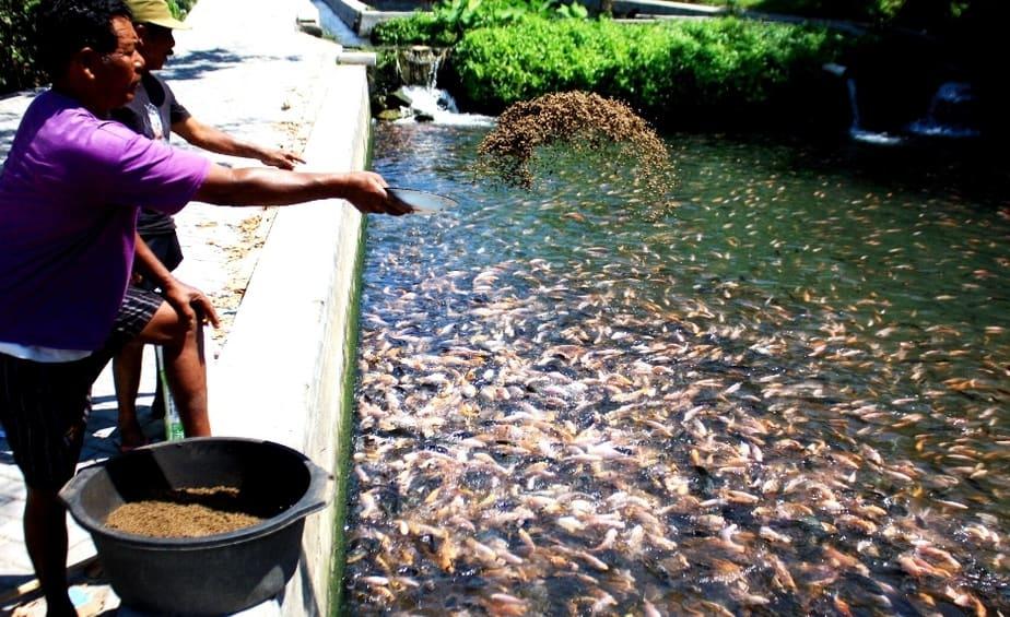 8 Larangan Dalam Pemberian Pakan Ikan Lele Arenahewan Com