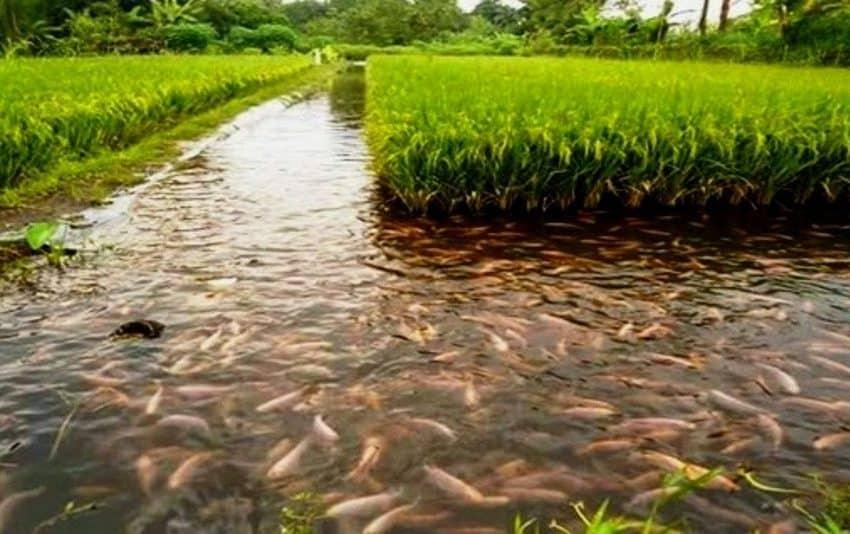 8 Cara Pembesaran Ikan Menggunakan Sistem Minapadi