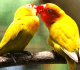 10 Jenis Makanan Peningkat Birahi Lovebird