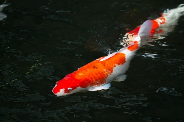 Faktor Penilaian Ikan Koi Saat Lomba Yang Perlu Diperhatikan