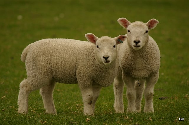 10 Tips Menjaga Kesehatan Domba