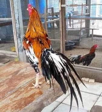 6 Tanda Ayam Bangkok Siap Bertarung Dilihat Dari Berbagai Hal
