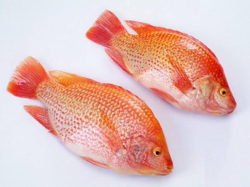 Langkah Penebaran Benih Ikan Nila