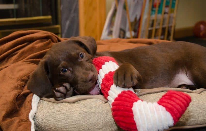5 Cara Agar Anjing Tidak Merusak Barang Yang Efektif