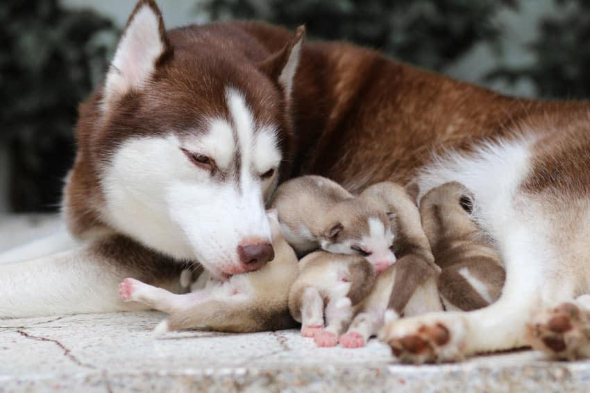 mungkin anda semua melihatnya setiap hari pada lingkungan sekitar 8 Tanda Anjing Selesai Melahirkan