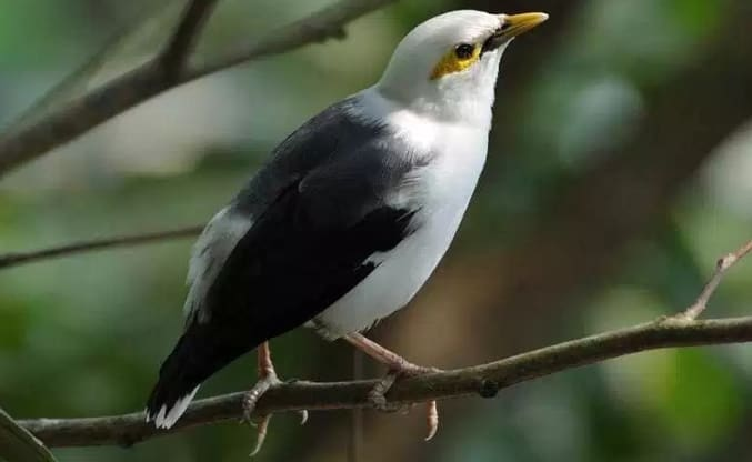 8 Tips Memelihara Burung Jalak Kapas Bagi Pemula