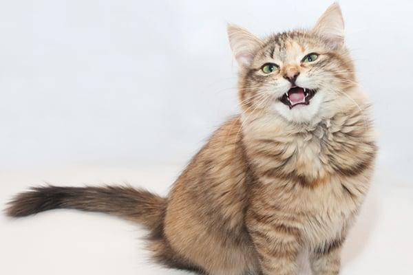 6 Alasan Kucing Mengeong Keras Di Malam Hari Yang Perlu Diperhatikan
