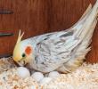 Mengenal Egg Binding, Mulai dari Pengertian, Penyebab dan Cara Mengatasi