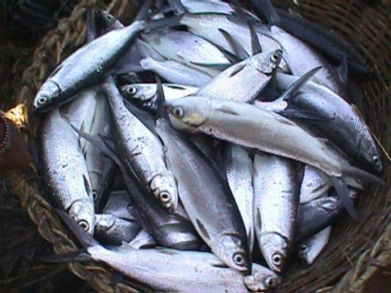 8 Tips Memelihara Ikan Bandeng Organik
