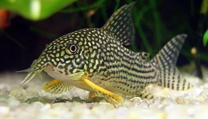8 Tips Budidaya Ikan Sapu-Sapu Hias Bagi Pemula