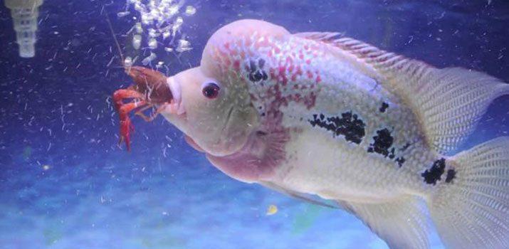 10 Manfaat Udang untuk Ikan Hias
