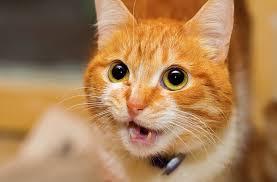 4 Penyebab Suara Kucing Hilang Dan Cara Mengatasinya
