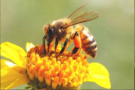 13 Cara Budidaya Lebah Madu bagi Pemula