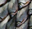 5 Tips Budidaya Ikan Nilem Untuk Pemula Yang Efektif