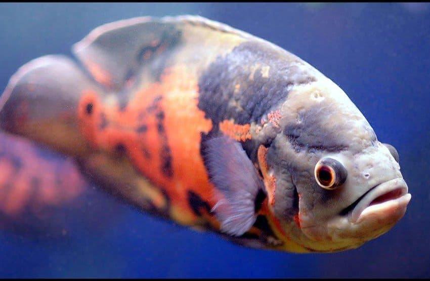 5 Tips Budidaya Ikan Oscar Untuk Pemula Yang Baik Dan Benar