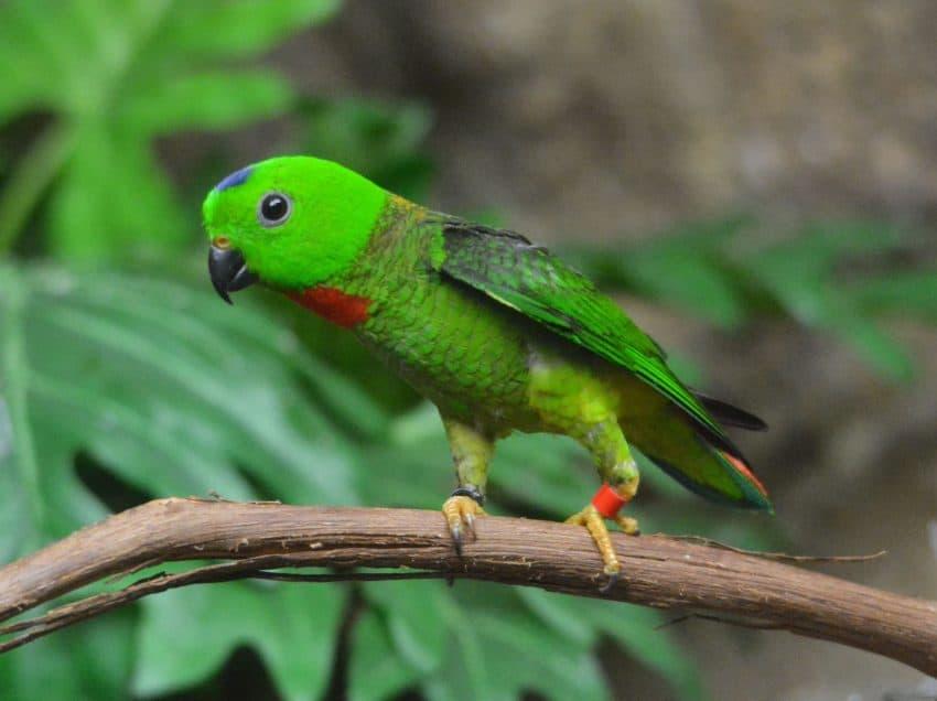 Jenis Makanan Burung Serindit Yang Bagus Dan Membantu Menjadikannya Gacor