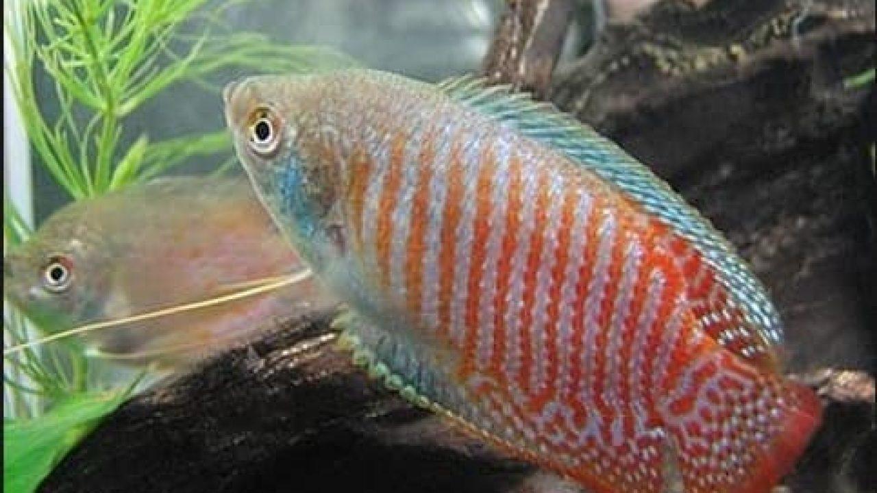 4 Cara Membedakan Ikan Sepat Hias Jantan Dan Betina Yang Tepat Arenahewan Com