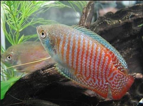 4 Cara Membedakan Ikan Sepat Hias Jantan Dan Betina Yang Tepat