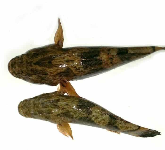 4 Cara Membedakan Ikan Betutu Jantan Dan Betina Yang Tepat