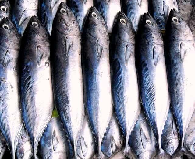 4 Cara Membedakan Ikan Tongkol Jantan Dan Betina Yang Perlu Dicoba